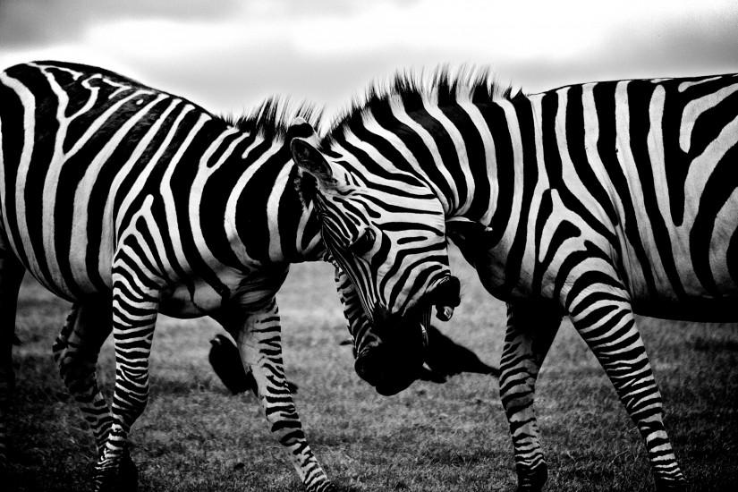 africa-animals-zebras-3158-825x550