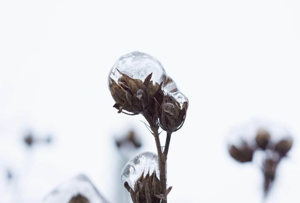 ice-flowers-366781_1280