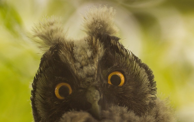 owl mad