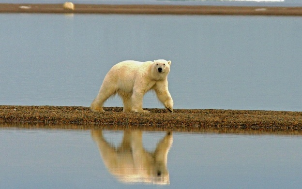 polar-bear-529594_1280