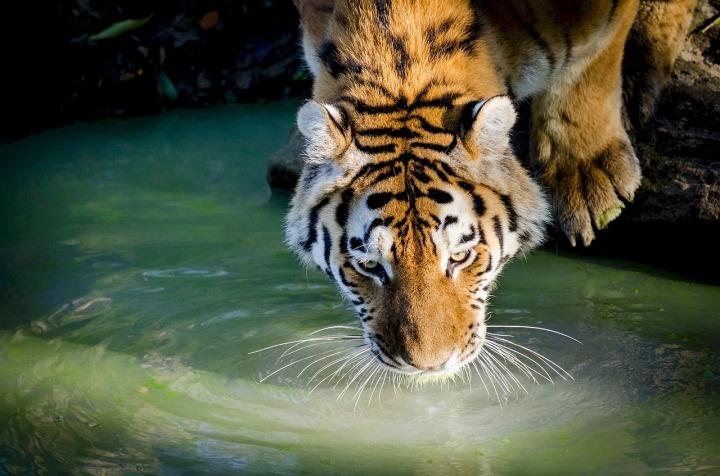 tiger-978817_1280