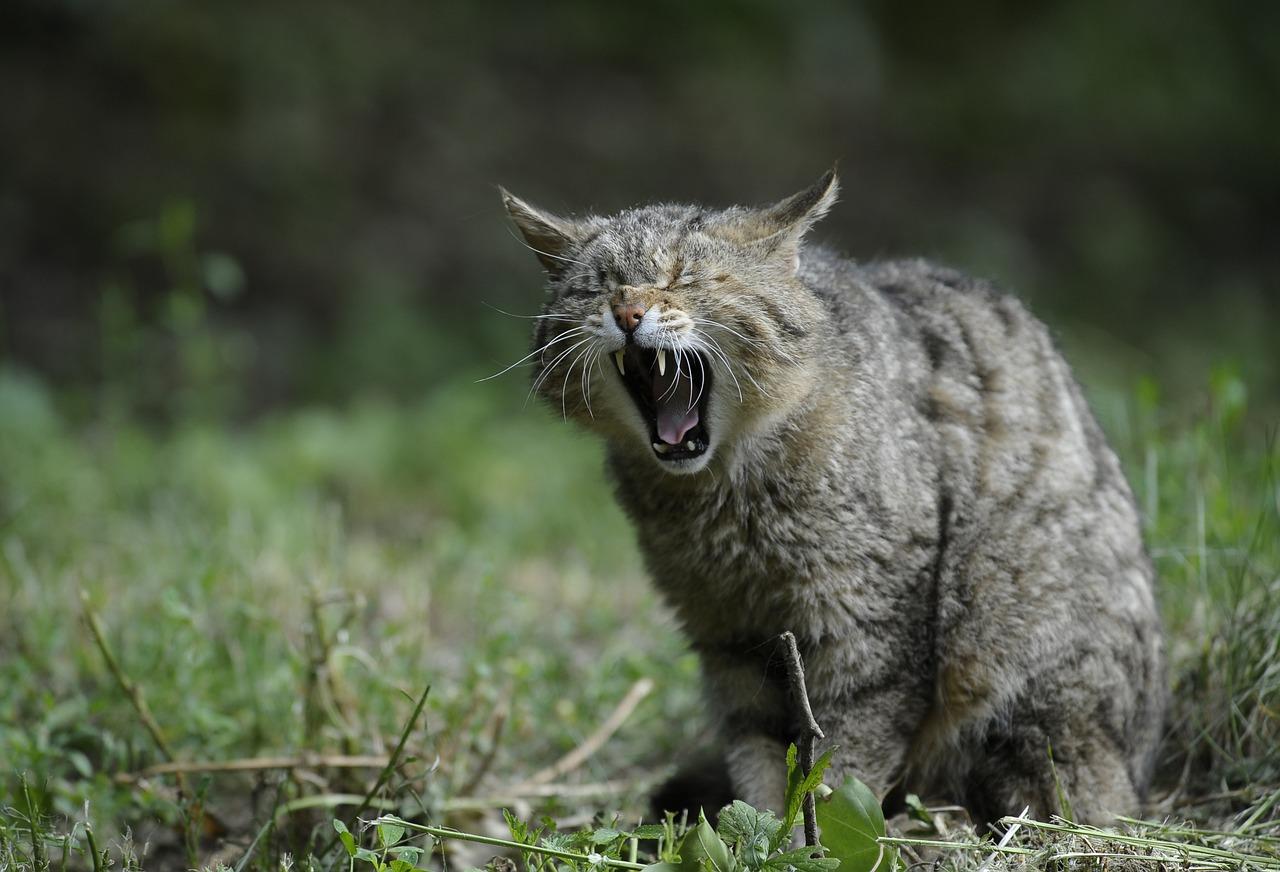wildcat-356805_1280