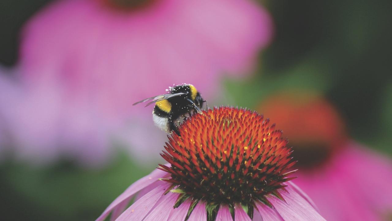 pexels-photo-Bee